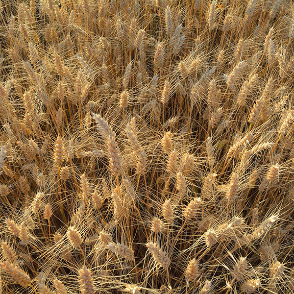 Durum wheat, where semolina comes from used in Luxury pasta